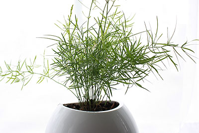 asparagus fern in a window