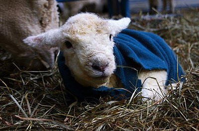 cute baby ram from Marthas Vineyard Fiber Farm