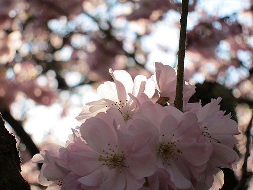 a cherry blossom, close up