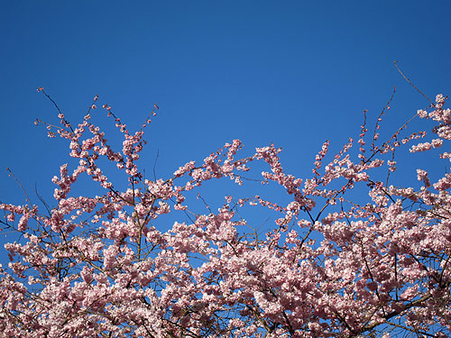 cherry blossoms and blue, blue sky