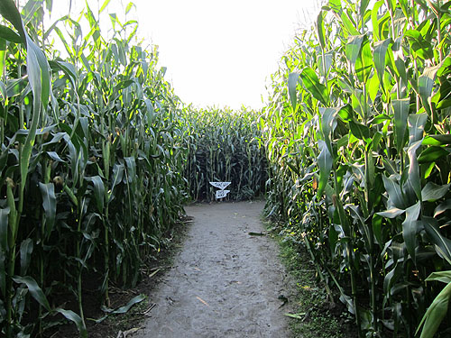 the row in a corn maze
