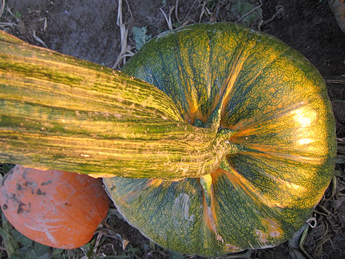 a green pumpkin with an impressively large stem, I bet it would have been HUGE had they let it grow