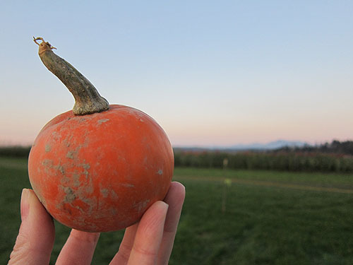 a small pumpkin ready to be launced from a sling