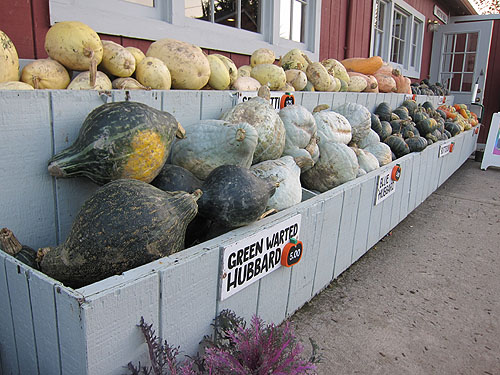 lots of pumpkin varieties