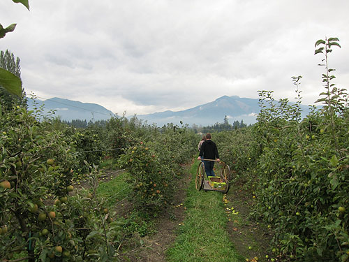 pulling an apple cart through the rows of trees, mountains in the distance