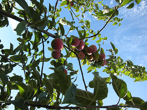 a branch heavy with apples