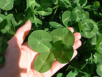 very large four leaf clover