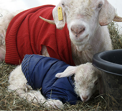 baby goat Arno at Marthas Vineyard Fiber Farm